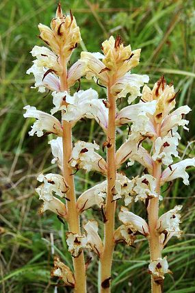 Záraza (Orobanche sp.)
